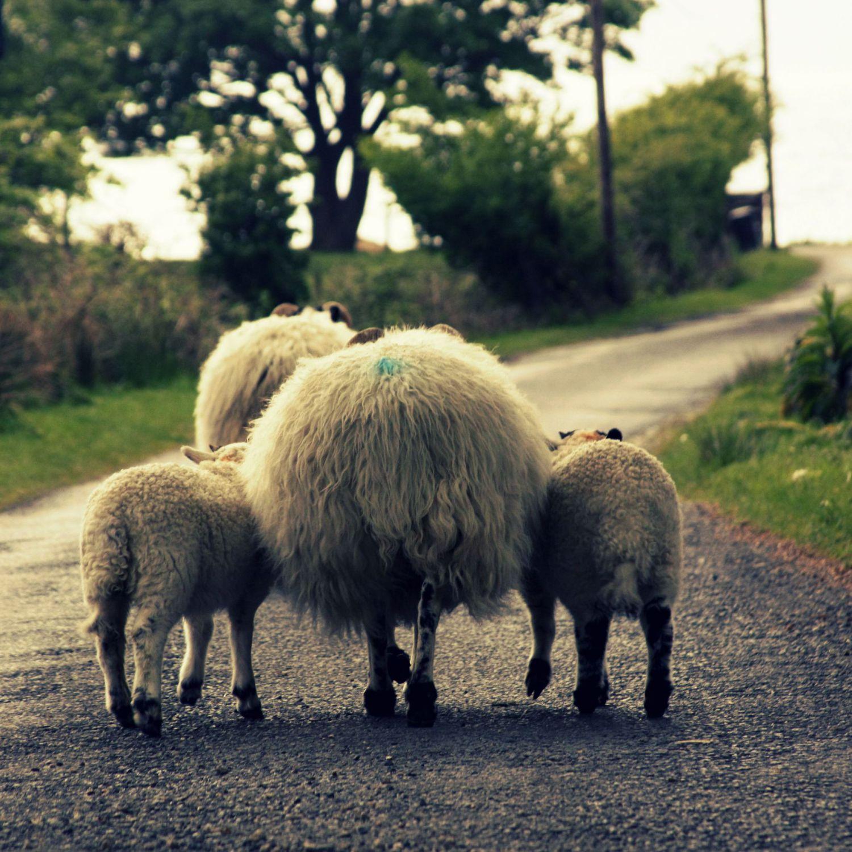 rodzice-owce